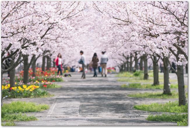 万博公園の桜並木の下を歩く沢山の花見客の様子