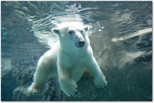 水槽の中を泳ぐシロクマの様子