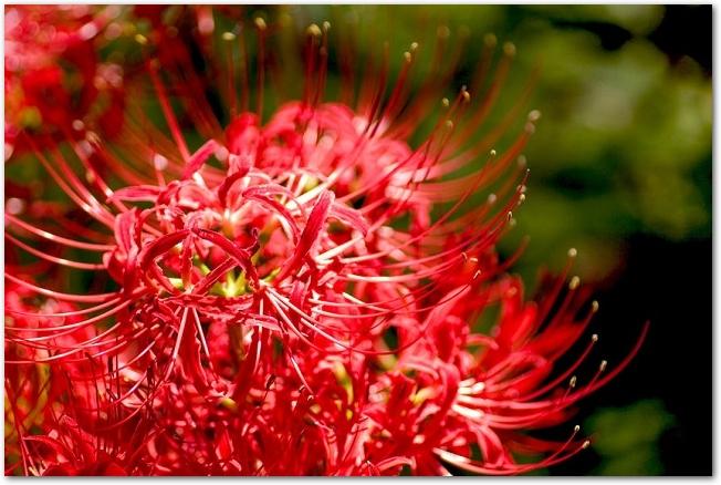 赤い彼岸花が咲いている様子